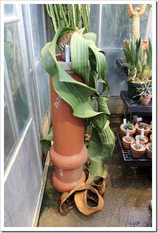 130202_UCDavis_Welwitschia-mirabilis_10