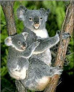Amazing Pictures of Animals, Photo, Nature, Incredibel, Funny, Zoo, Koala, Phascolarctos cinereus, Alex (14)