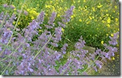 ws catmint