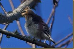 Cedar Waxwing -Juvenile  D7K_6333 October 16, 2011 NIKON D7000