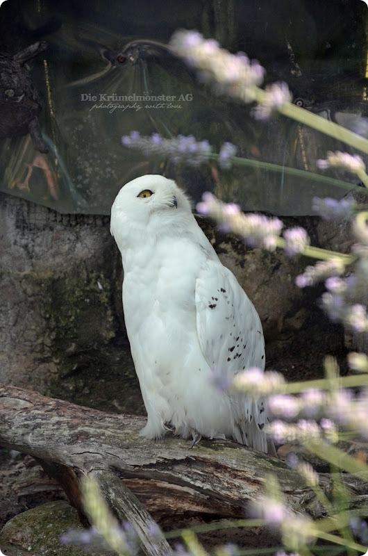 Wremen 29.07.14 Zoo am Meer Bremerhaven 39 Schneeeule