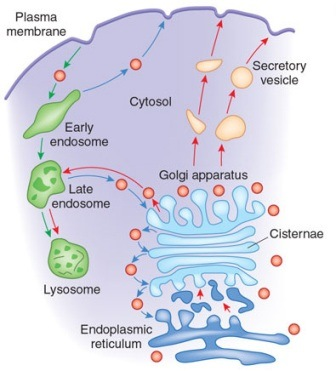 The Golgi apparatus modifies and sorts proteins for transport throughout the cell.