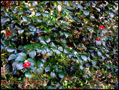 camellia0