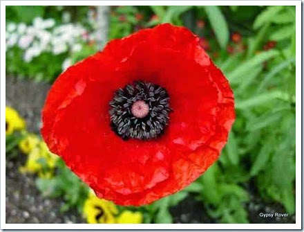 flanders poppy