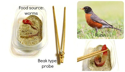 Montessori Tidbits:  Bird beak probe robin