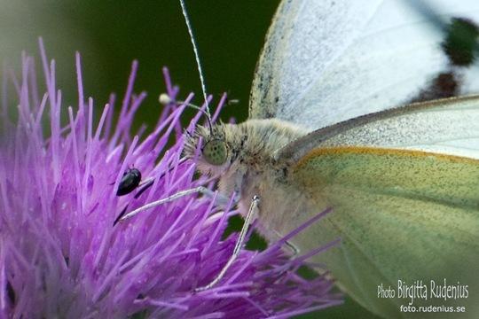 butterfly_20110730_vit1a