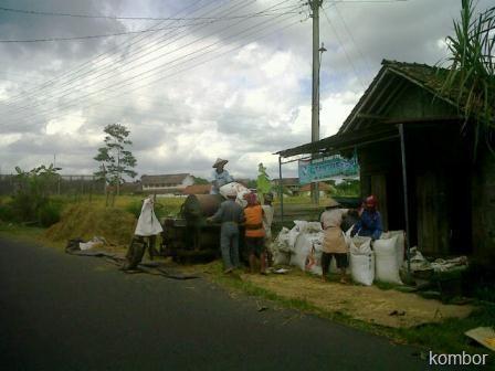 panen padi di caturharjo sleman