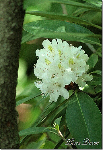 Ejc_Rhododendron2
