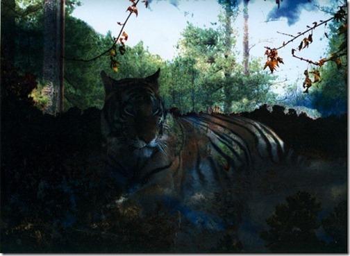 Tigerphotomanipulation_thumb1