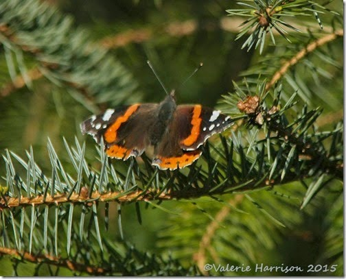 18 Red-admiral