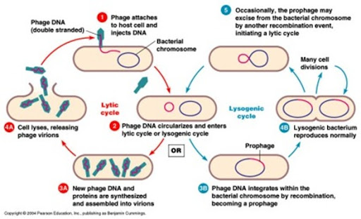 Difference between Lysogenic phase and Lytic phase | Major Differences