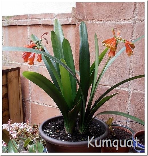 En macetas clivia for Macetas plantas exterior