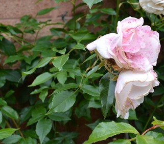 Floribunda Iceberg rose on Midsummer's day