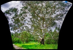 Autostitched Vertarama of the River Gum in HDR*