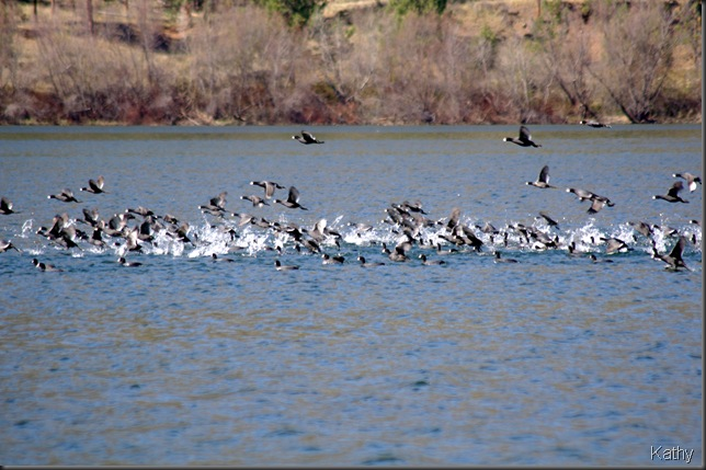 Coots taking off