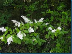 Chinese privet