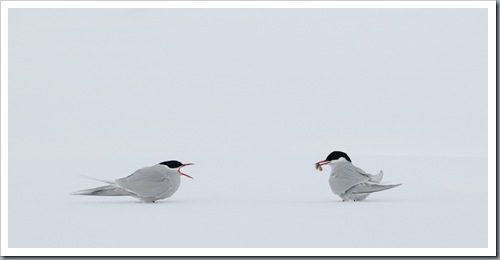 Antarctic Terns courtship feeding in the snow