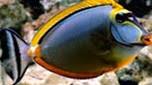 Réunion-Mayotte nason bariolé