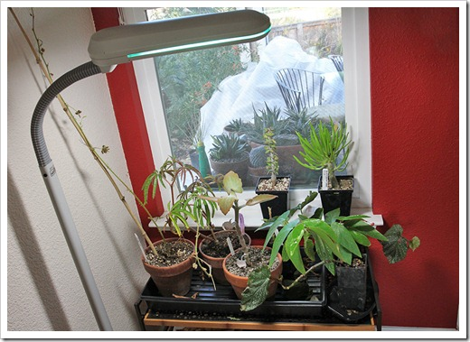 111206_plants_in_diningroom
