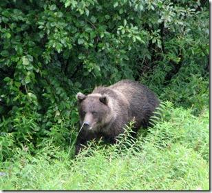 1st Brown Bear 8-16-2011 11-21-23 AM 2009x1827