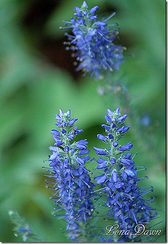 Bluehill_Salvia_June