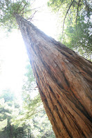 Small California Redwood