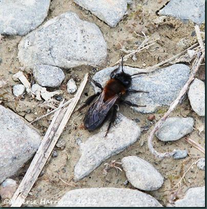 29-tiny-bee-or-mimic