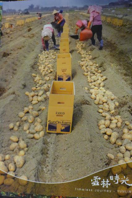 馬鈴薯採收