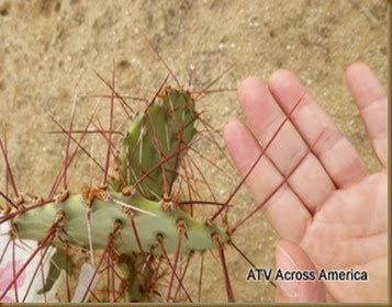 prickley pear needle