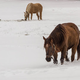 Trudging thru the Snow by Linda Lapre - Animals Horses