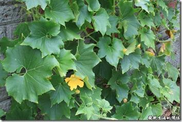 瓢瓜(瓠仔)的葉子