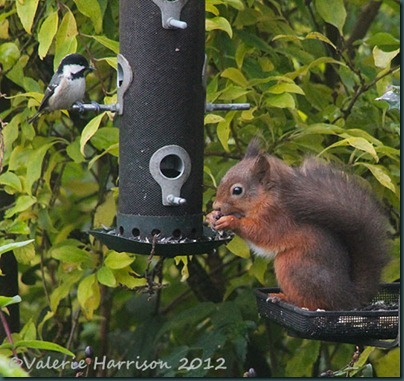 squirrel-&-coal-tit