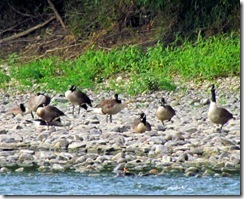 Cananda Geese waking up across the Susquehanna