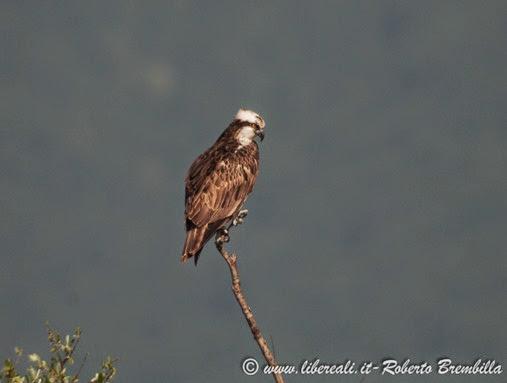 8_Falco pescatore_Pian di Spagna (229)