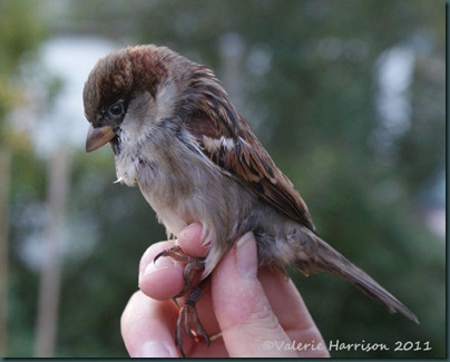 house-sparrow