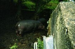 2002.06.10-154.28 hippopotame