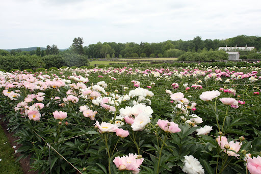 Martha's peonies are in full bloom and they look amazing!  I need to go and see them.