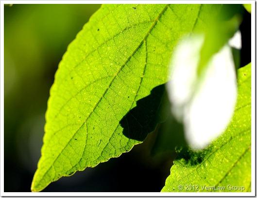 LeafyVeinsIMG_7509