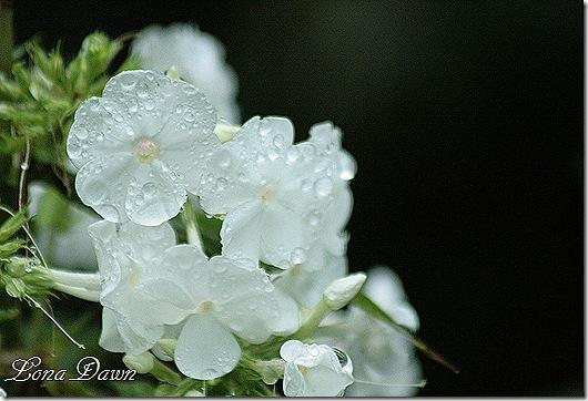 DaividPhlox_Rain