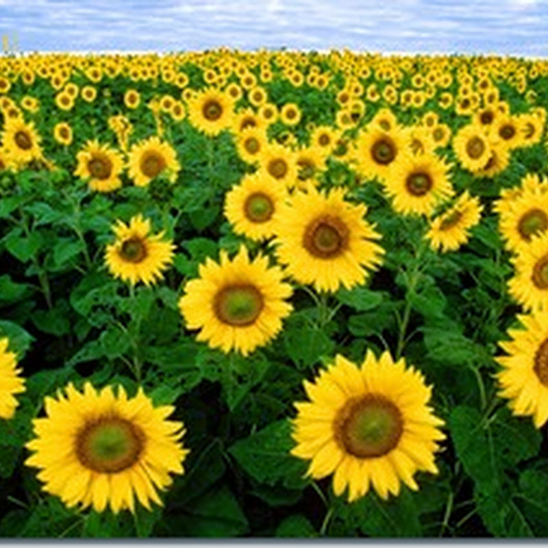 معروض للبيع |استيراد زيت عباد الشمس من تركيا