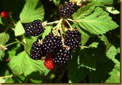 blackberries-hanging