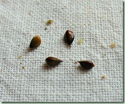 JIndigo seed2