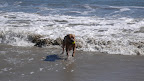 The tennis-ball-fish is among the most coveted sea creatures a dog can retrieve and befriend.