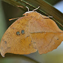 Seasonal Leafwing Butterfly