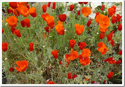 Eschscholzia-californica-Red-Chief_03