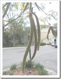 Florida vacation 3.12 seed pods from yellow flowering tree