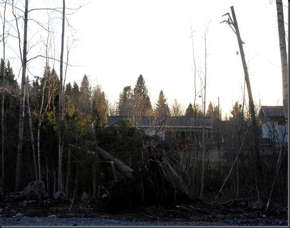 kaatuneita puita 005