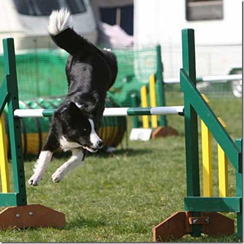 Border Collie dog agility