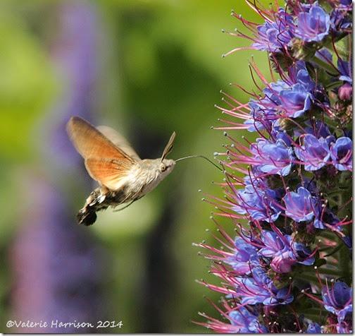 hummingbird-hawkmoth-2