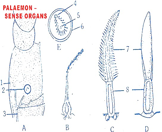 Palaemon-senseorgans-prawn